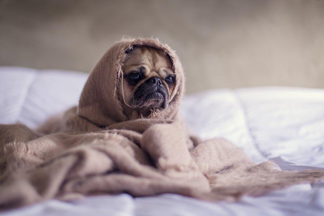Cachorro da raça pug coberto, apenas com a cara para fora.