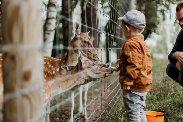 Criança alimentando veados em um zoológico.