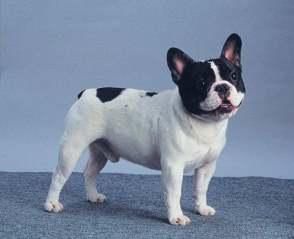 Buldogue Francês O Nono Cachorro Mais Fofo 10 Raças De