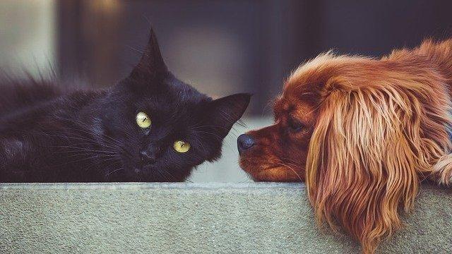 Gato preto e cachorro caramelo