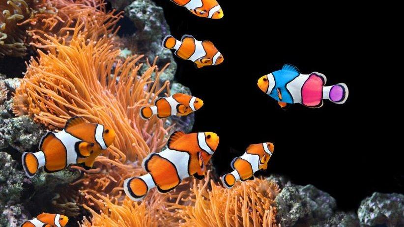 Peixes-palhaço laranja e peixe-palhaço colorido em direção oposta