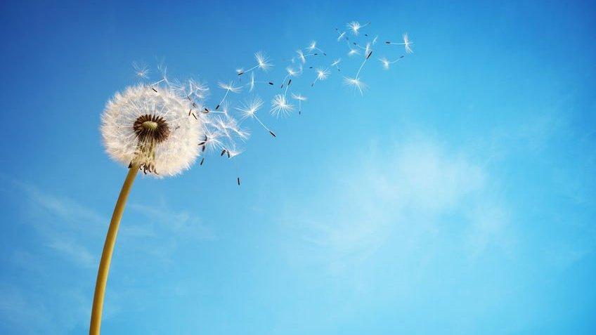 Dente-de-leão sendo levado pelo vento com um céu azul e limpo ao fundo.