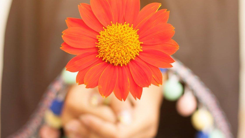 Pessoa segurando um girassol vermelho em direção a câmera. Apenas a flor está em foco.