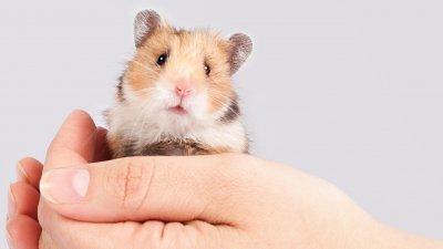 Pequeno hamster nas mãos de uma pessoa.