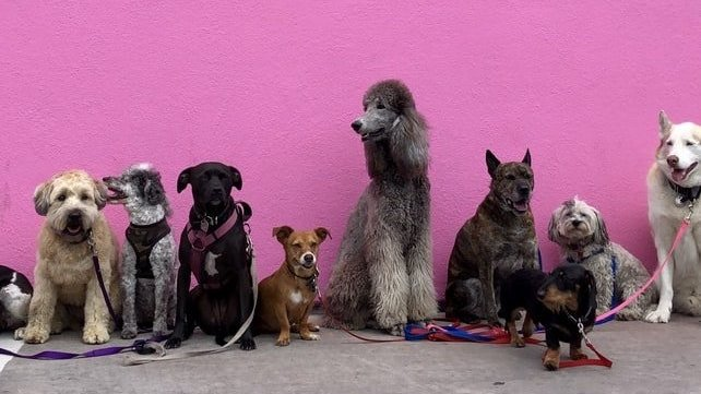 Nove cachorros de diferentes raças, cores e tamanhos, lado a lado, em frente a uma parede rosa.