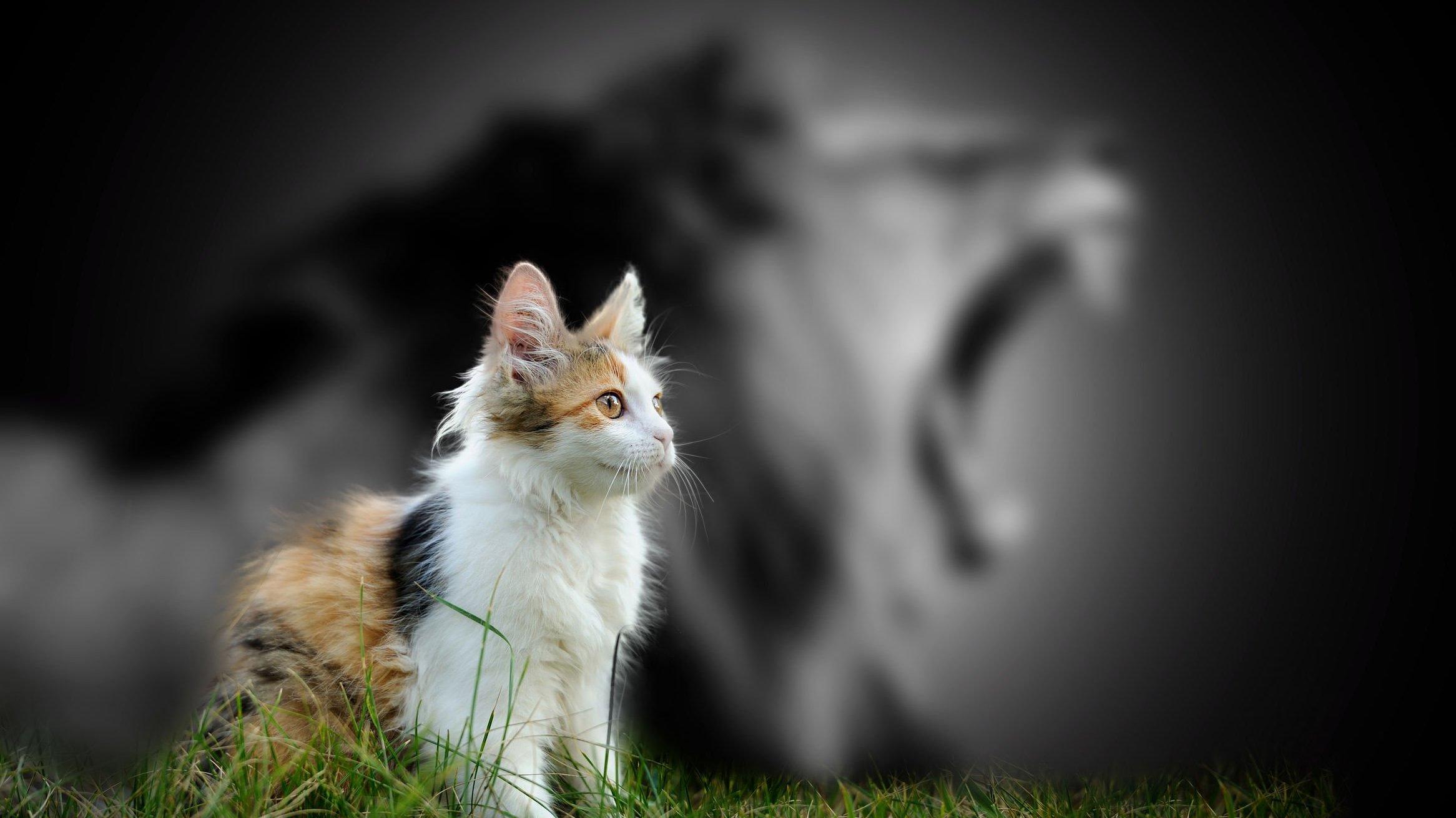 Foto de gato e sombra de leão