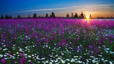 Nascer do sol em um campo florido com flores roxas e brancas.