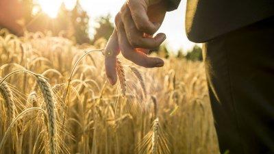 Mão tocando trigo com sol refletindo ao fundo