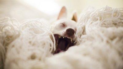 Cachorro branco bocejando deitado sobre um tapete de lã.