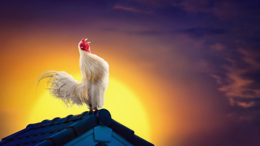 Galo cantando em telhado