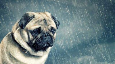 Cachorro pug triste