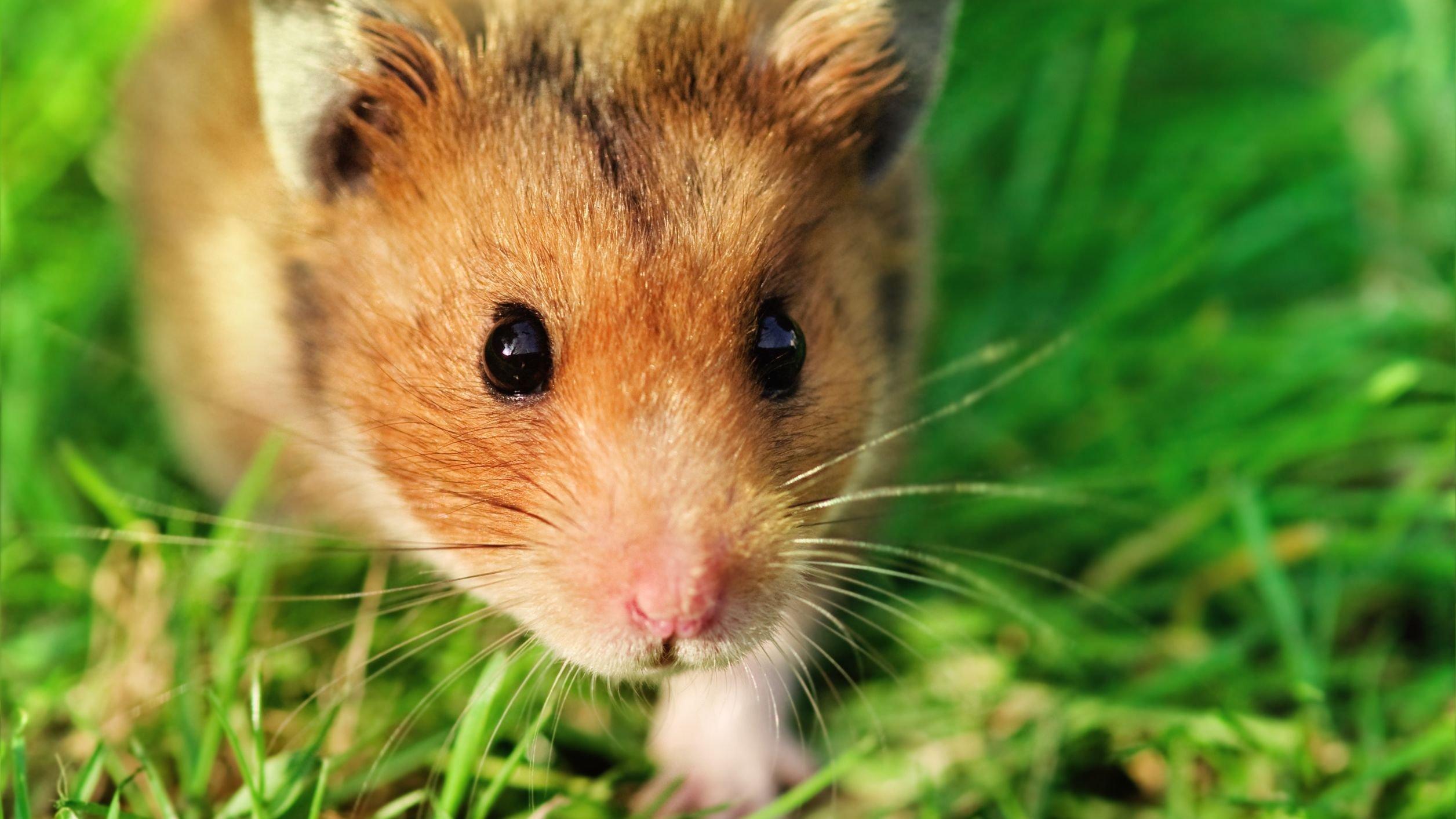 Foto de hamster