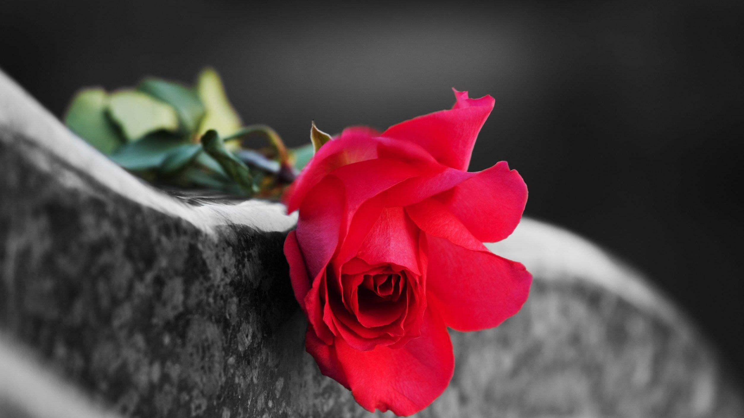 Rosa vermelha sobre lápide