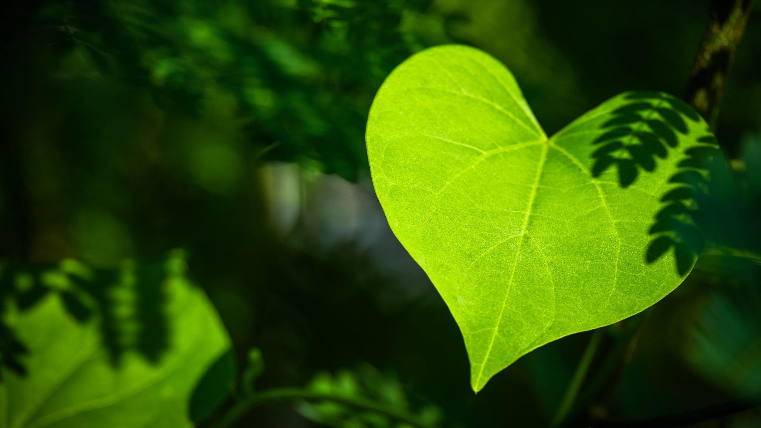 Folha verde em formato de coração na floresta